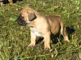 Собаки, щенки Южноафриканский бурбуль, цена 3500 Грн., Фото
