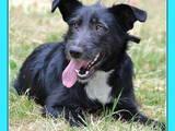 Собаки, щенята Різеншнауцер, ціна 10 Грн., Фото