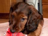 Собаки, щенята Довгошерста такса, ціна 2200 Грн., Фото