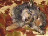 Собаки, щенята Безпорідна, Фото