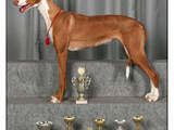 Собаки, щенята Поденко ібіценко, ціна 10000 Грн., Фото