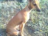 Собаки, щенки Левретка, цена 3000 Грн., Фото