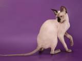 Кошки, котята Канадский сфинкс, цена 500 Грн., Фото