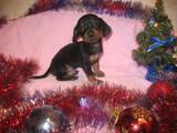Собаки, щенята Жорсткошерста такса, ціна 400 Грн., Фото