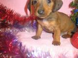 Собаки, щенки Жесткошерстная такса, цена 400 Грн., Фото