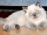 Кішки, кошенята Екзотична короткошерста, ціна 1200 Грн., Фото