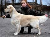 Собаки, щенята Золотистий ретрівер, ціна 10 Грн., Фото