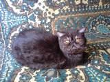 Кішки, кошенята Екзотична короткошерста, ціна 500 Грн., Фото