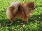 Собаки, щенята Малий шпіц, ціна 8000 Грн., Фото