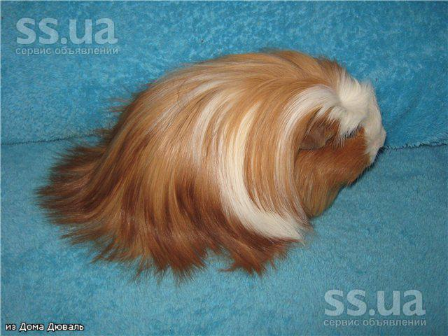 http://i.ss.ua/images/2011-12-28/1635/VnsKGEFn/animals-rodents-guinea-pigs-4.800.jpg