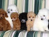 Собаки, щенята Той-пудель, ціна 3000 Грн., Фото