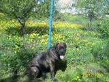 Собаки, щенки Мальоркский бульдог (Ка Де Бо), цена 4000 Грн., Фото