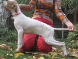Собаки, щенята Англійський пойнтер, ціна 1600 Грн., Фото