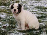 Собаки, щенки Американский бульдог, цена 8000 Грн., Фото