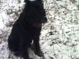 Собаки, щенки Ризеншнауцер, цена 800 Грн., Фото