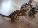 Кішки, кошенята Бенгальськая, ціна 6000 Грн., Фото