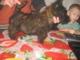 Собаки, щенки Скотчтерьер, цена 2500 Грн., Фото