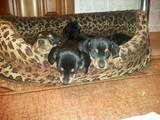 Собаки, щенята Гладкошерста кроляча такса, ціна 500 Грн., Фото