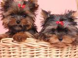 Собаки, щенята Ветеринарні послуги, ціна 50 Грн., Фото