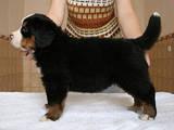 Собаки, щенята Гірський собака Берна, ціна 6500 Грн., Фото