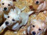 Собаки, щенята Лабрадор ретрівер, ціна 2900 Грн., Фото