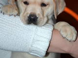 Собаки, щенки Лабрадор ретривер, цена 4000 Грн., Фото