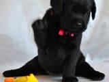 Собаки, щенята Лабрадор ретрівер, ціна 3900 Грн., Фото