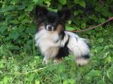 Собаки, щенята Папільон, ціна 5000 Грн., Фото