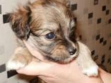 Собаки, щенята Російський довгошерстий тойтерьер, ціна 2500 Грн., Фото