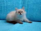 Кошки, котята Невская маскарадная, цена 3600 Грн., Фото