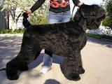 Собаки, щенята Чорний тер'єр, ціна 8000 Грн., Фото