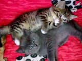 Кішки, кошенята Шотландська короткошерста, ціна 500 Грн., Фото