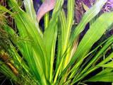 Рибки, акваріуми Водні рослини, ціна 50 Грн., Фото