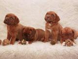 Собаки, щенята Бордоський дог, ціна 5500 Грн., Фото