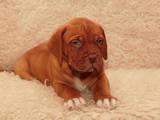Собаки, щенки Бордосский дог, цена 5500 Грн., Фото