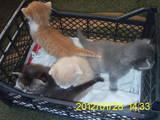 Кішки, кошенята Шиншила, Фото