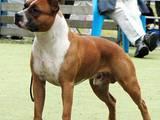 Собаки, щенята Американський стаффордширський тер'єр, ціна 100 Грн., Фото