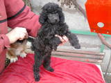 Собаки, щенки Услуги парикмахера, мойка, цена 1200 Грн., Фото