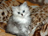 Кішки, кошенята Шиншила, ціна 800 Грн., Фото