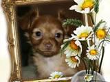 Собаки, щенята Російський довгошерстий тойтерьер, ціна 8000 Грн., Фото