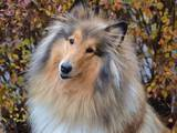 Собаки, щенята Довгошерстий коллі, ціна 2000 Грн., Фото