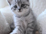 Кошки, котята Шотландская короткошерстная, цена 2700 Грн., Фото