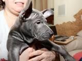 Собаки, щенята Родезійського ріджбек, ціна 23000 Грн., Фото