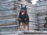 Собаки, щенята Босерон, ціна 10000000 Грн., Фото
