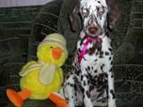 Собаки, щенки Далматин, цена 1000 Грн., Фото