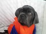 Собаки, щенята Мастіно неаполетано, ціна 3500 Грн., Фото