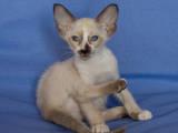 Кішки, кошенята Сейшельська короткошерста, ціна 2500 Грн., Фото