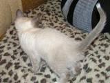 Кішки, кошенята Бірманська, ціна 400 Грн., Фото