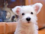 Собаки, щенята Вестхайленд уайт тер'єр, ціна 6400 Грн., Фото