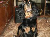 Собаки, щенята Спаровування, ціна 100 Грн., Фото